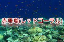 3月の誕生石「赤珊瑚(レッドコーラル)」の意味や特徴、そして産地をわかりやすく解説